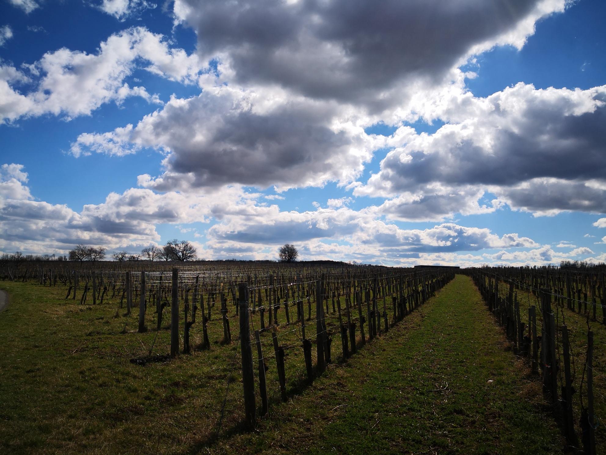 Horitschon Weingarten
