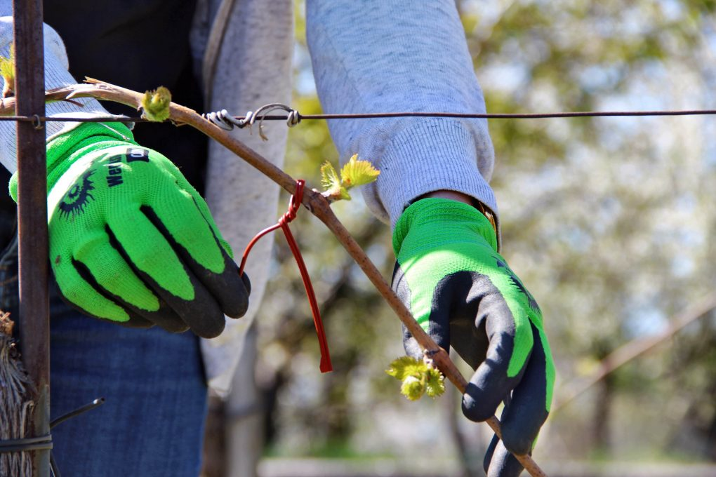 """Es ist Frühling. Was ist in den Weingärten und Rieden in Horitschon bloß los? Die Winzerinnen und Winzer rücken allesamt aus, um die Rebstöcke mit eigenartigen, roten """"Bandln"""" zu schmücken. Als ob die nicht ohnehin schön genug wären. Die austreibenden Rebstöcke. Sind die Horitschoner Weinbauern verwirrt sind von der Frühlingsluft?  Das sind natürlich keine Bänder um die Attraktivität der Weinstöcke zu erhöhen.  Und auch die Winzer sind keinesfalls verwirrt. Vielmehr wollen sie verwirren. Nämlich den Traubenwickler. Einem argen Traubenschädling. Bei den """"Bandln"""" handelt sich um sogenannte """"Spaghetti-Dispenser"""". Diese werden jetzt im Frühjahr an den Rebstöcken angebracht und verbreiten – nein keine Spaghetti – sondern Pheromone. Lockbotenstoffe , die die männlichen Genossen des Traubenwicklers ordentlich in die Irre leiten und es ihnen unmöglich machen, sich mit den Weibchen zu paaren. Sie können sich nicht mehr riechen!   Der Traubenwickler würde erhebliche Schäden an den Trauben und dadurch an der Weinqualität verursachen. Wir haben uns im rotweinDorf Horitschon schon vor vielen Jahren entschlossen, dieses selektive Pflanzenschutzverfahren anzuwenden und auf chemische Spritzmittel zu verzichten. Denn der Erfolg stellt sich nur ein, wenn größere Flächen mit dieser Methode arbeiten. Alle Winzer des rotweinDorf Horitschon arbeiten deshalb ausschließlich mit der Verwirrtechnik. Wenn Sie eine Wanderung entlang unserer Rieden machen, erleben Sie deshalb eine erstaunlich große Anzahl an verschiedensten Nützlingen. Das Geschenk der Natur, weil wir auf unnötigen Chemie-Einsatz verzichten. Zum Wohl!"""
